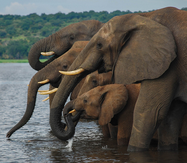 19.  Elephants may not be used to plow cotton fields