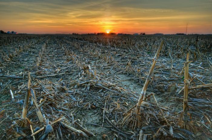 9) Cornfields