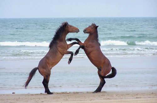 North Carolina Barrier Islands Wild Horses