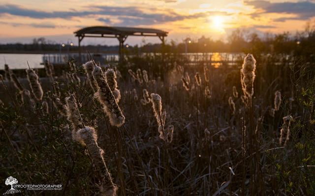 "17. ""Cattail Sunset, New Bern"""