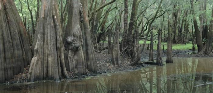 3. Audobon's Francis-Beidler Forest (Harleyville, SC)
