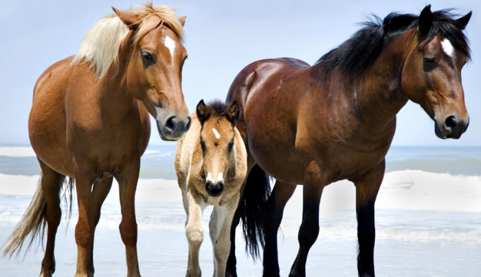 15. A baby pony taking a morning beach walk with its parents.