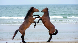 The Wild Horses Of The Outer Banks Are Simply Amazing
