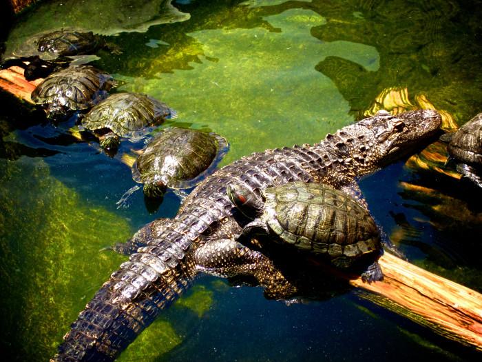 17. Alligator Adventure
