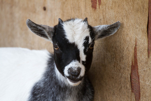 13. Largest litter of goats