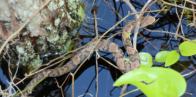 6. Cottonmouth or Water Moccassin