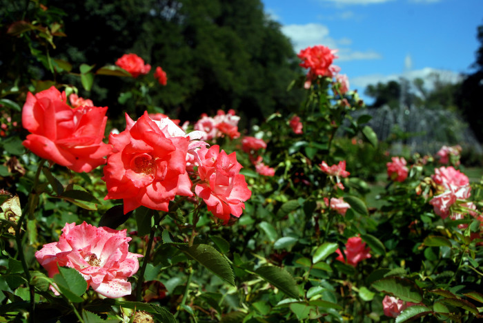 14) Columbus Park of Roses (because what on this wide, beautiful, green earth is more romantic than a first kiss surrounded by countless roses?)