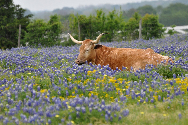 8) Take the scenic drive to Brenham, just under a 2 hour's drive from Houston. You'll get to see never-ending fields of bluebonnets, plus you can tour the Blue Bell Creamery while there, too.