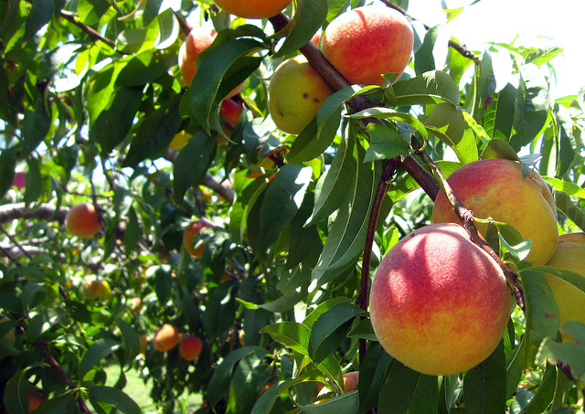 2) Pick freshly grown peaches at the Marburger Orchard in Fredericksburg, TX