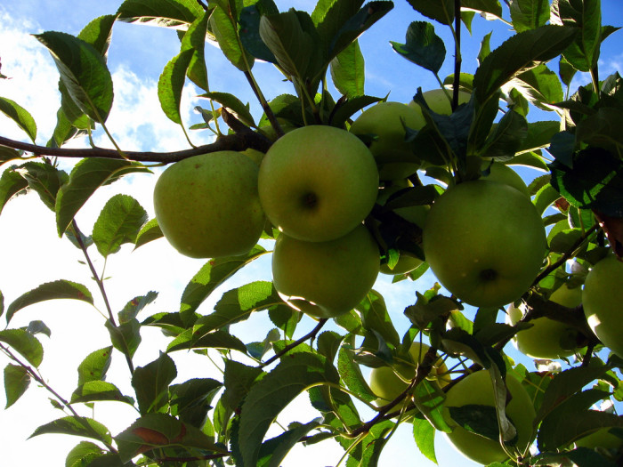 1) Golden Delicious apples were first discovered on a farm in Clay County, WV, in the early 1900s.