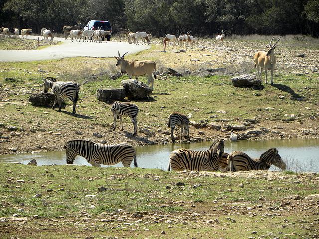 11) Drive through the Natural Bridge Wildlife Ranch about an hour northeast of San Antonio and watch as emus, giraffes, zebras, elands, and ostriches graze and play in a protected habitat. Keep your windows rolled down; a friendly zebra just might stick his head in for a picture (or some snacks).
