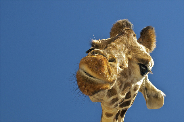 20. Suprisingly enough, a giraffe popping its head into your sunroof is a romantic adventure!