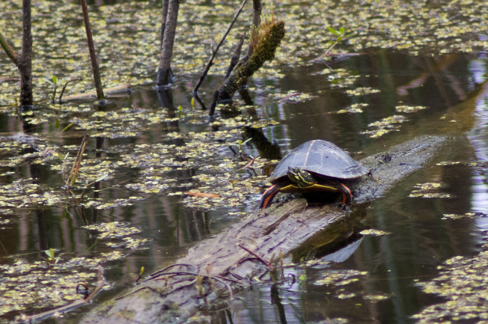 "2) Reelfoot Lake is considered the, ""Turtle Capital of the World."""