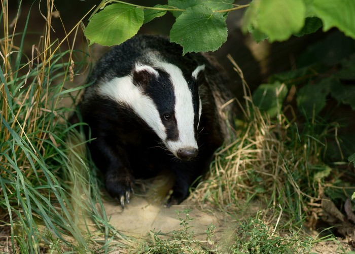 15. Wisconsin isn't called the badger state because of the animal, but because miners would have to dig holes in the ground to sleep in during winter months--kind of like badgers do.
