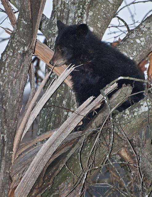 1) Black Bear