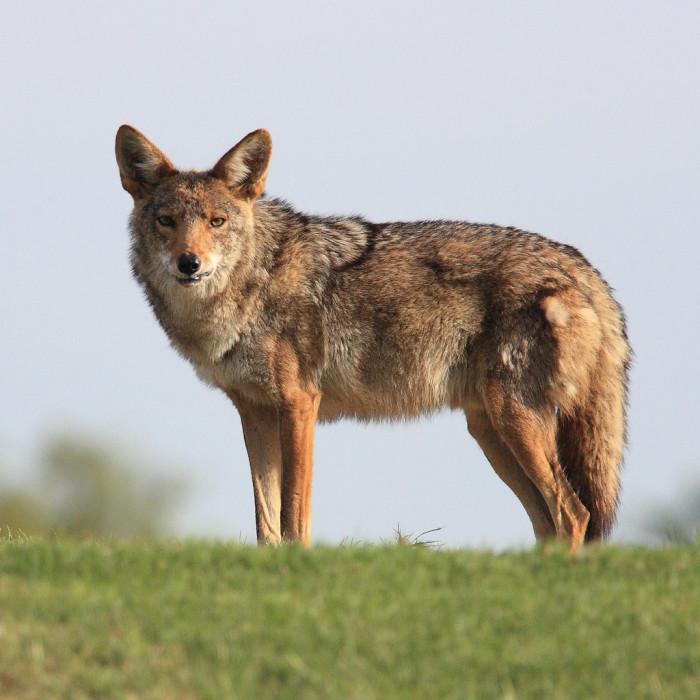 4) Coyote