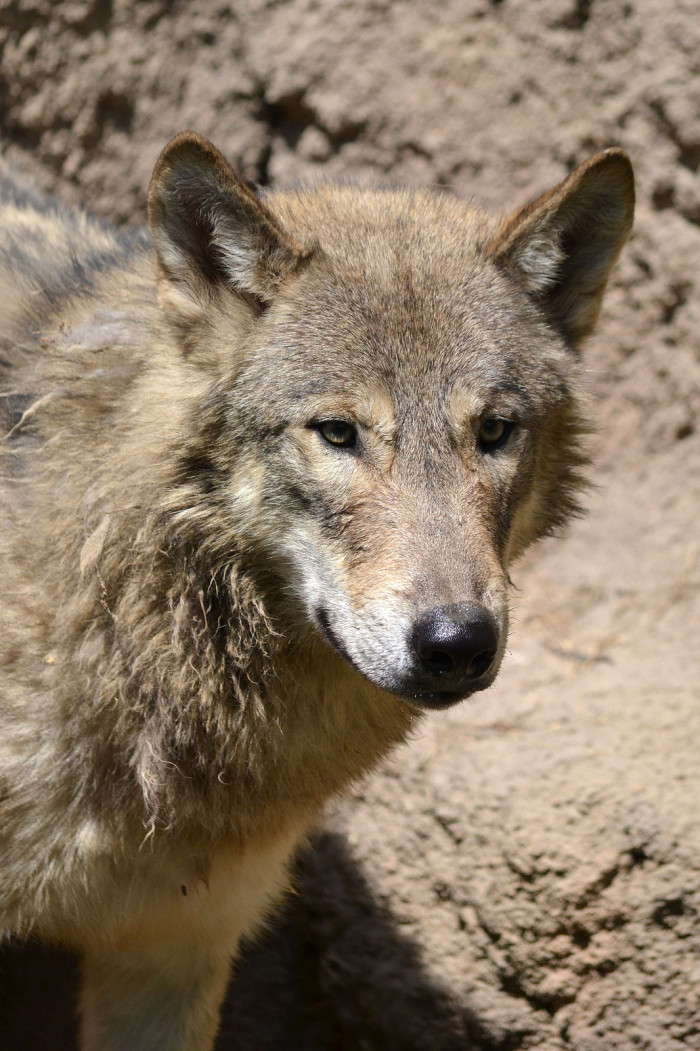 8) Eastern Timber Wolf