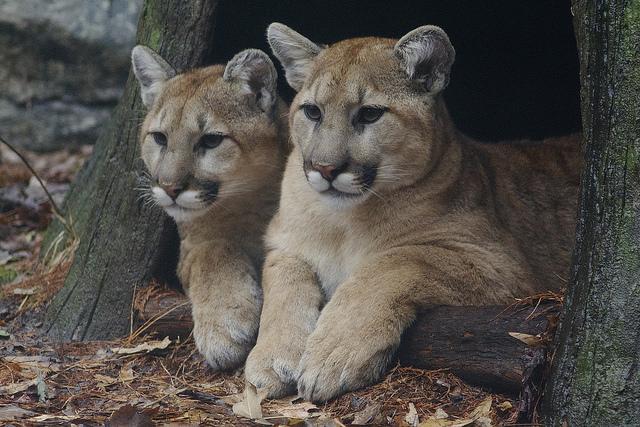 5) Mountain Lion