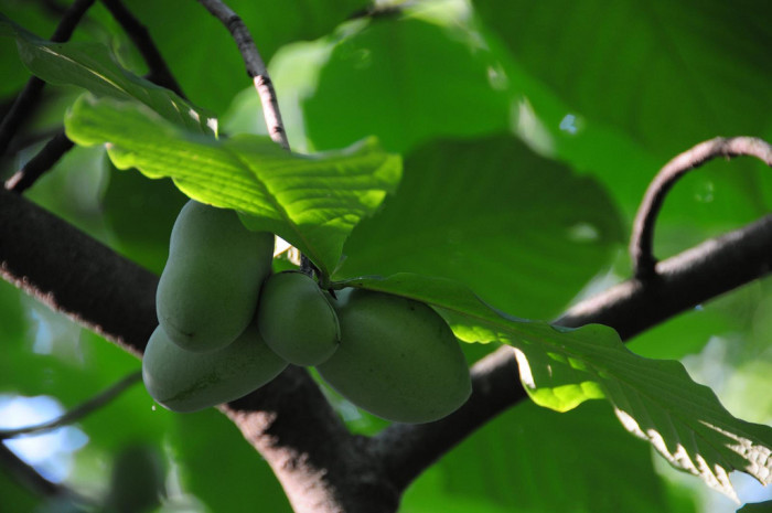 7) The PawPaw! As known as, the West Virginia banana, these are so yummy!