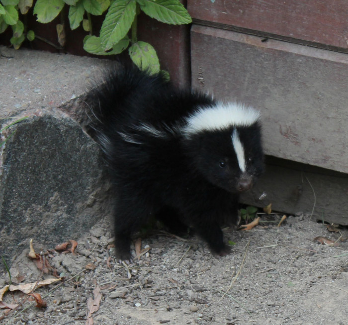14) Carrying a skunk over state borders is a huge no-no. Unless you're looking for trouble, we'd recommend you don't do it.