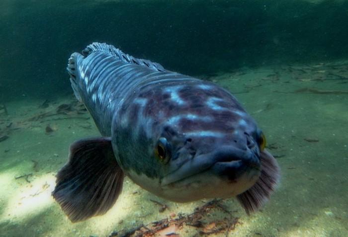 World's Largest Snakehead Fish