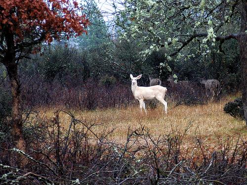 4. Virginia Dare, the white doe