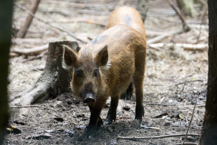 9) Wild boar