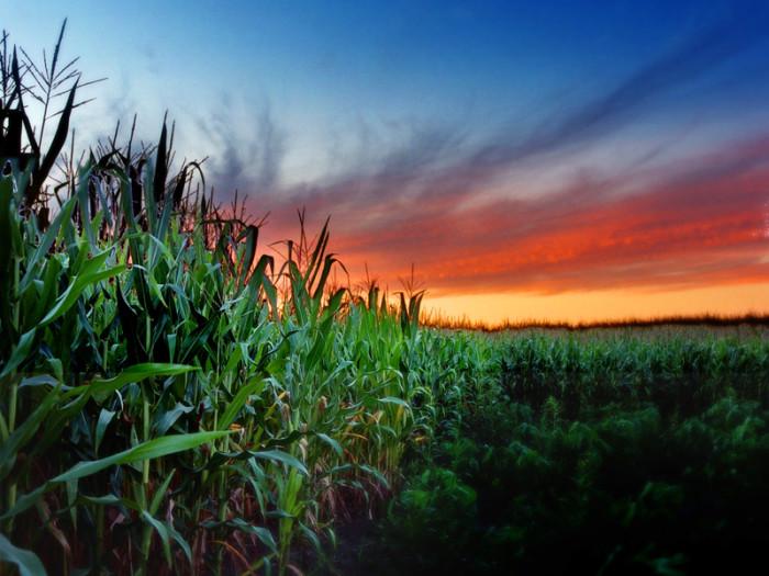 7) Corn. Lots and lots of corn.