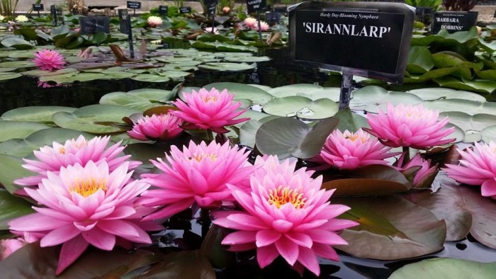 10) International Waterlily Collection - San Angelo