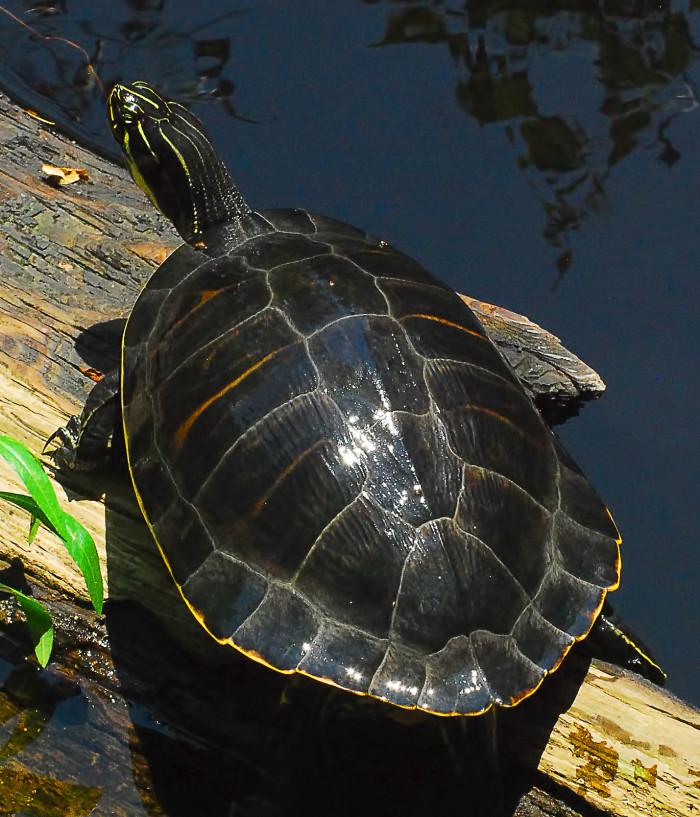 2. Cooter - Freshwater turtle from the southern or eastern US.