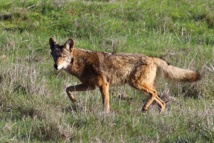 12. Coyotes