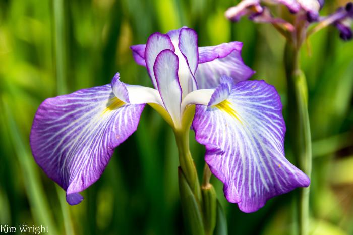 1. Iris Festival