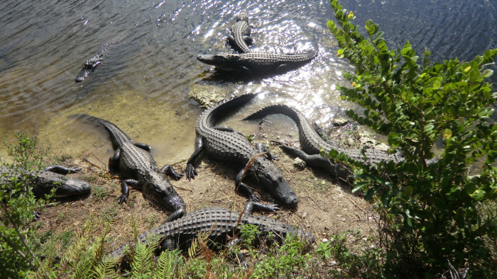 1. The Everglades National Park is the only place where alligators and crocodiles coexist.
