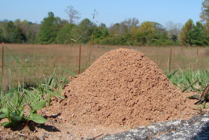1. Fire Ants