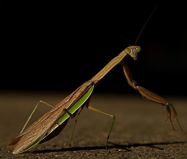 19. Praying Mantis