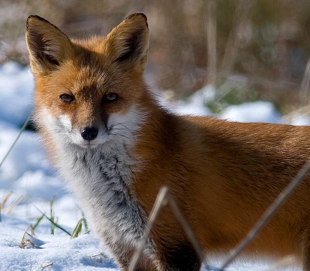 1. Red Fox