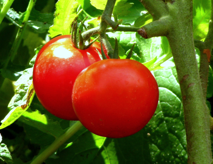 15. Eaten fresh vegetables and fruits that you have grown in your own backyard.
