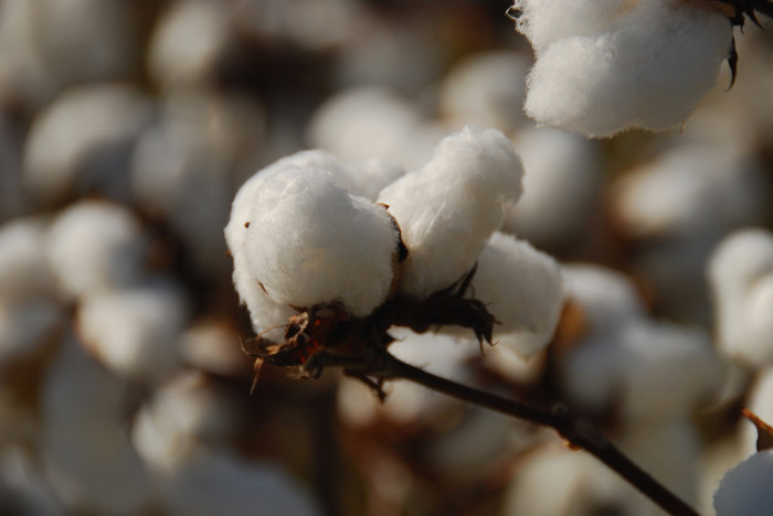 14. Stopped by the roadside and picked cotton from the field to see what it feels like in its natural state only to realize that if you don't do it just right you hurt your hands.