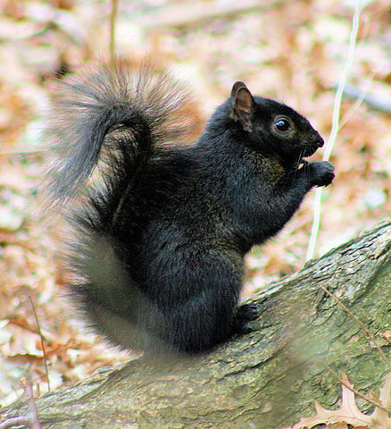 1) Black Squirrel