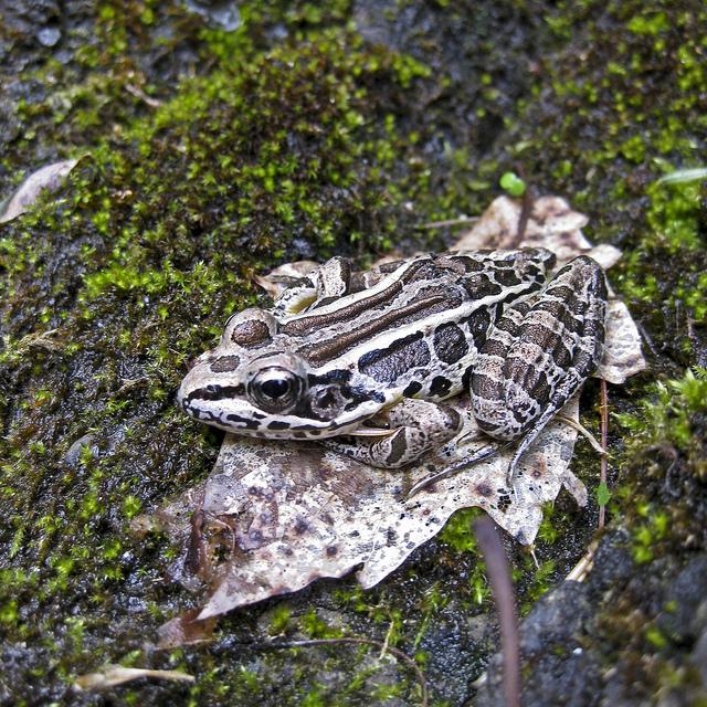 13. Pickerel Frog