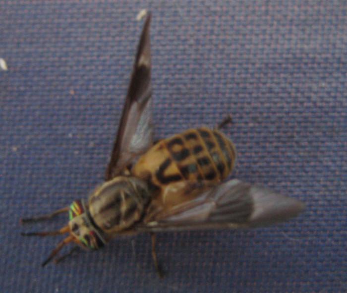 15. Yellow flies/deer flies