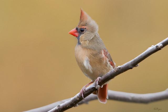 20. Northern Cardinal