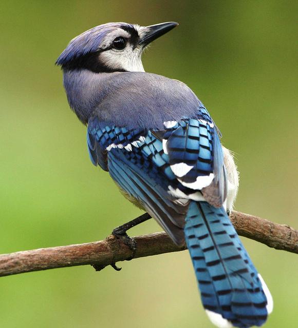 12. Blue Jay