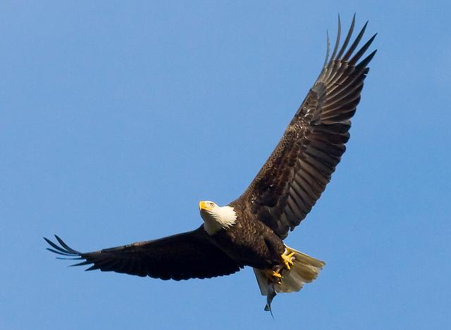 15. Bald Eagle