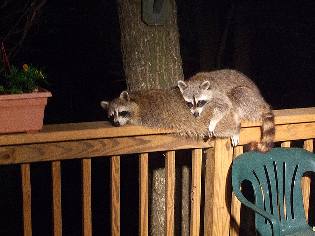 8. Racoons