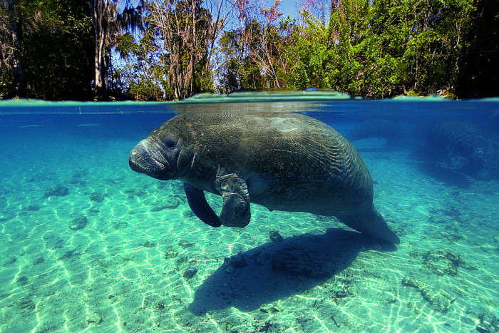 10. Get up close and personal with the gentle and absolutely adorable manatees in Crystal River.