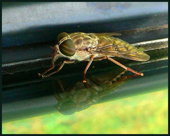 16. Horseflies