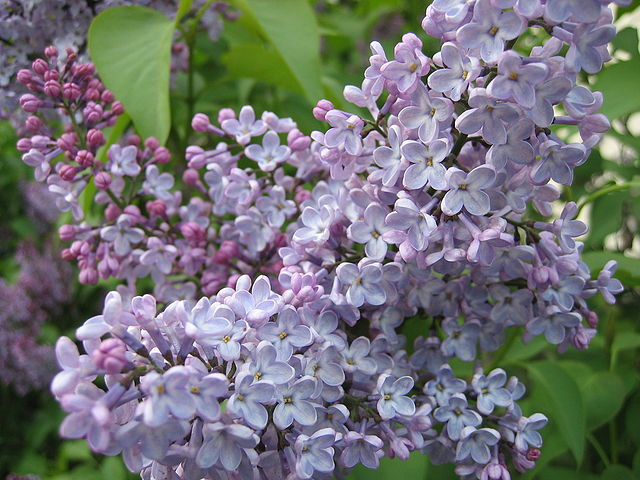 11) Mackinac Island Lilac Festival