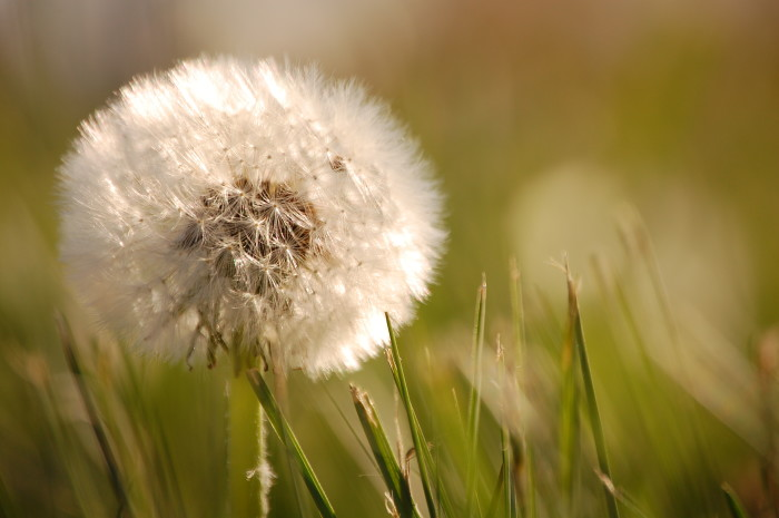 6.) It is illegal to let a dandelion grow within the city limits (Pueblo)