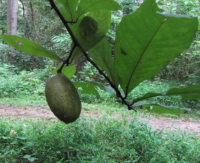 10) Paw paws: America's largest tree fruit celebrated annually at the Ohio Paw Paw Festival in Albany.
